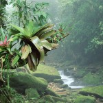 Bromeliads, Bocaina National Park, Atlantic Rainforest, Brazil
