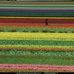 holland_flowers