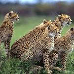 00_Gepardos_kenia