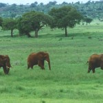 Elephants_in_tanzania