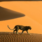 desert_cheetah_namibia_africa-normal