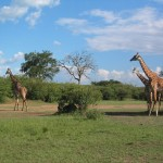 giraffes-kenya-africa