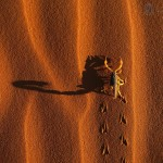 shadow-casting-scorpion--namib-naukluft-national-park--namibia